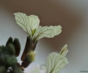 Ricola bloem