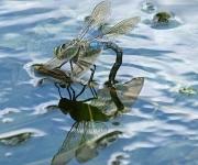 Libelle op het water