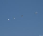 Lepelaars in de vlucht