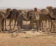 Dorstige kamelen