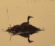 Fuut op het nest